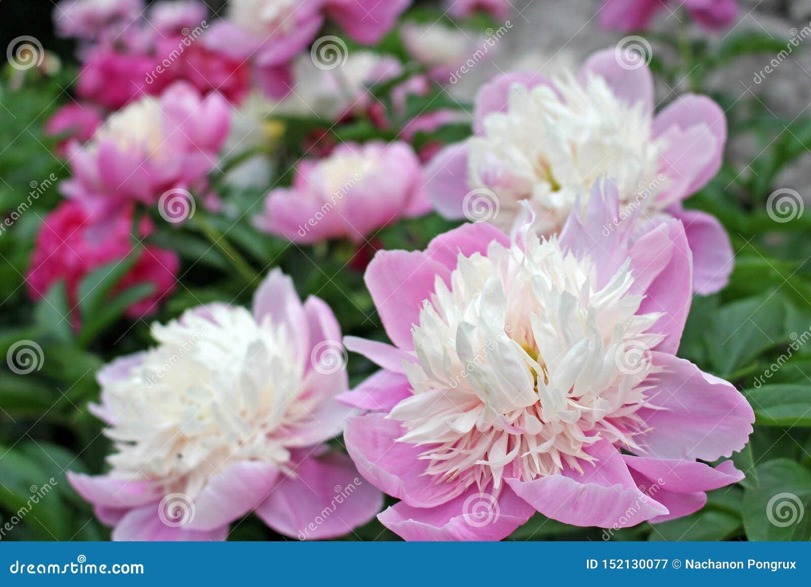 W górę widoku piękny delikatny biały i purpury kwiat w zieleni graden