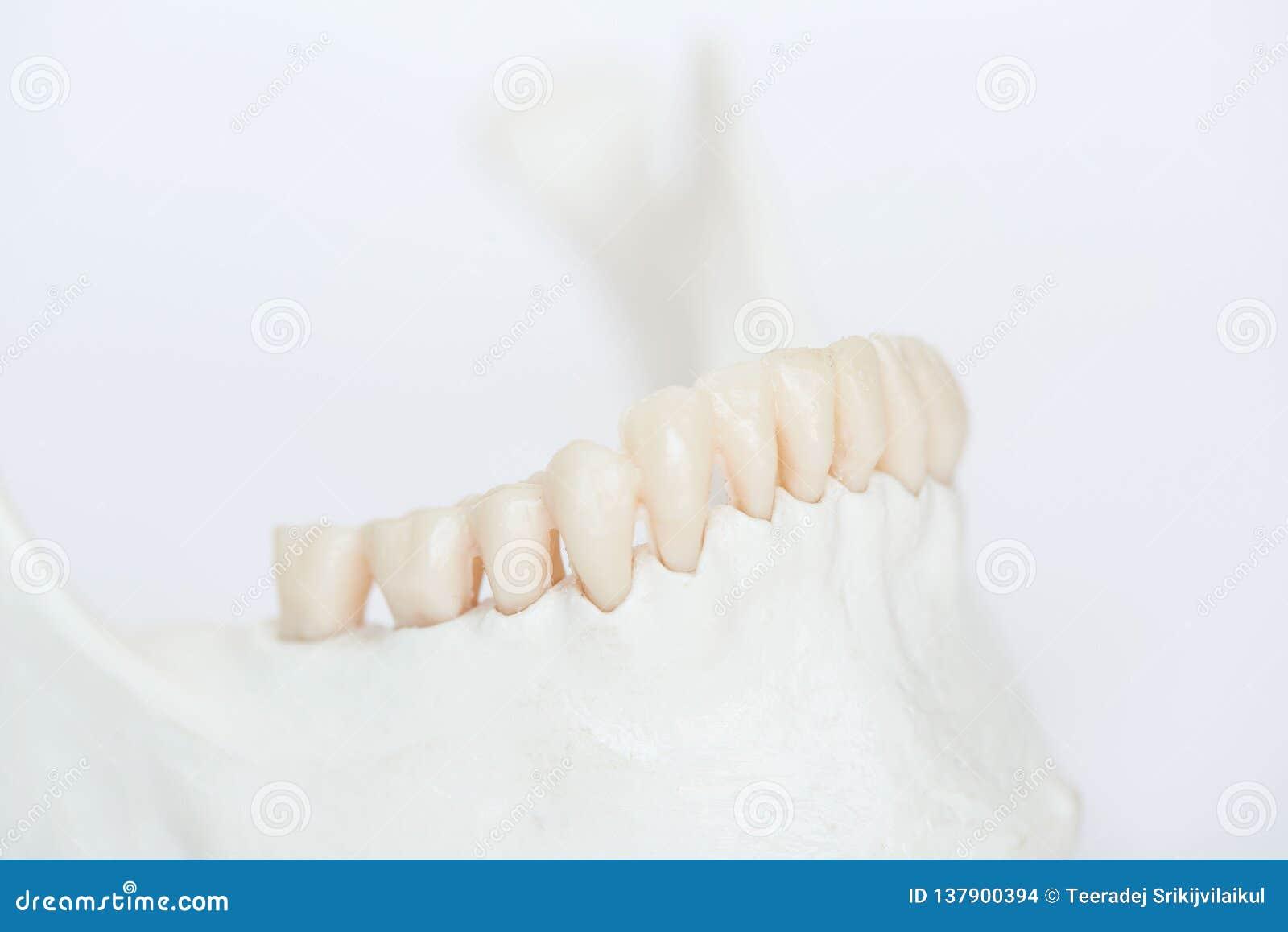 W górę widoku sztuczni ludzcy zęby na szczęki kości modelu