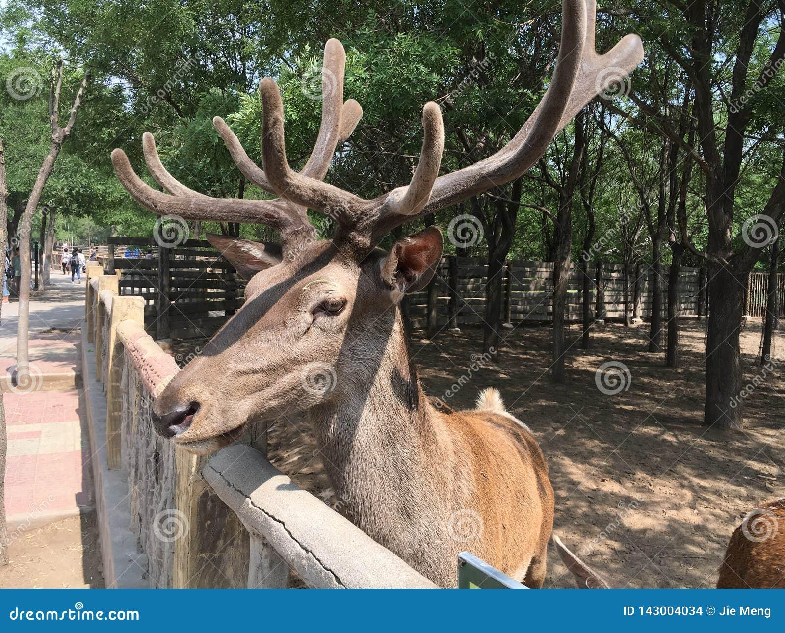 W górę zoo zamknięty jeleni sika