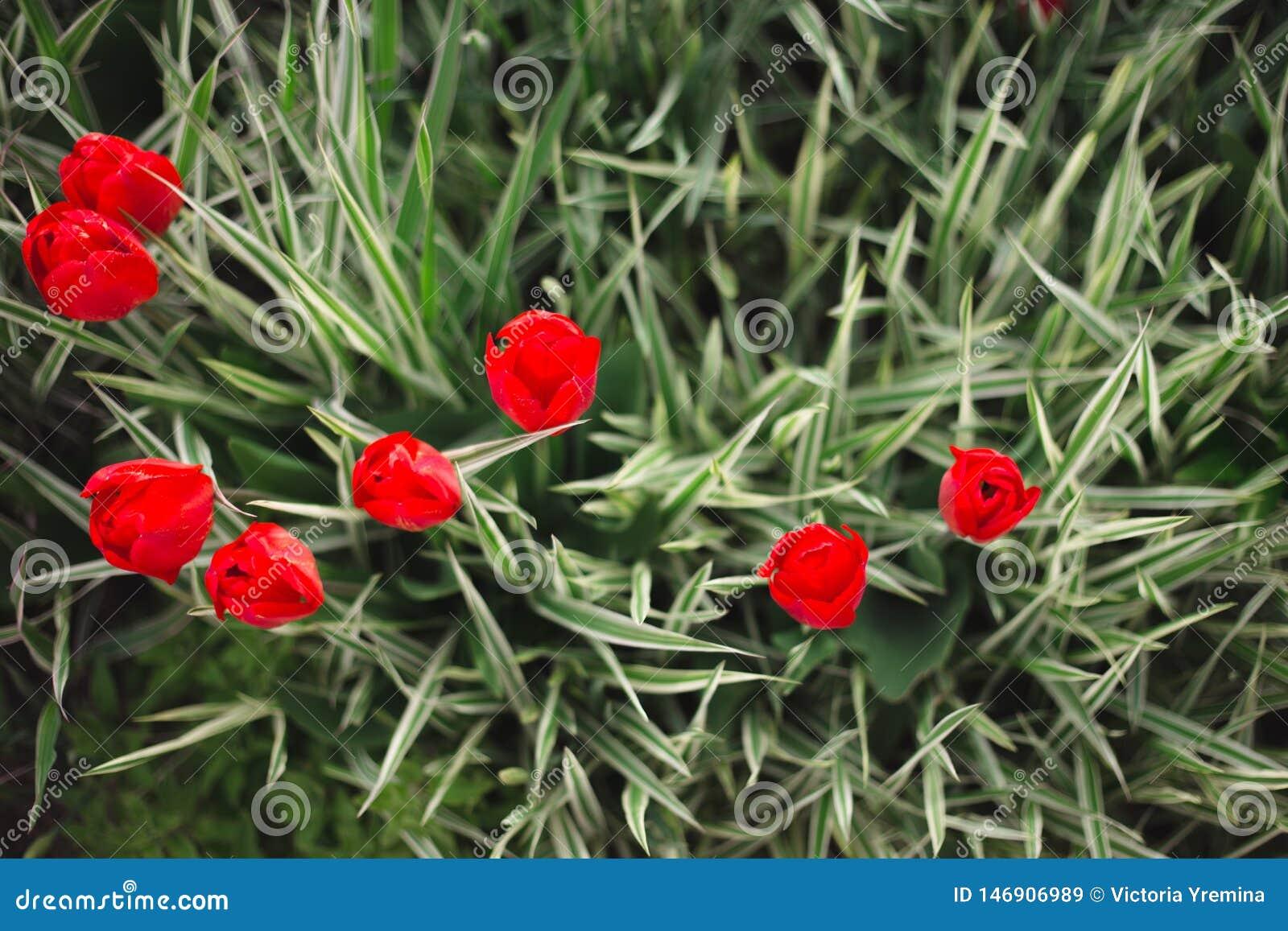 W g?r? czerwonych tulipan?w kwitnie w?r?d trawy i zielenieje