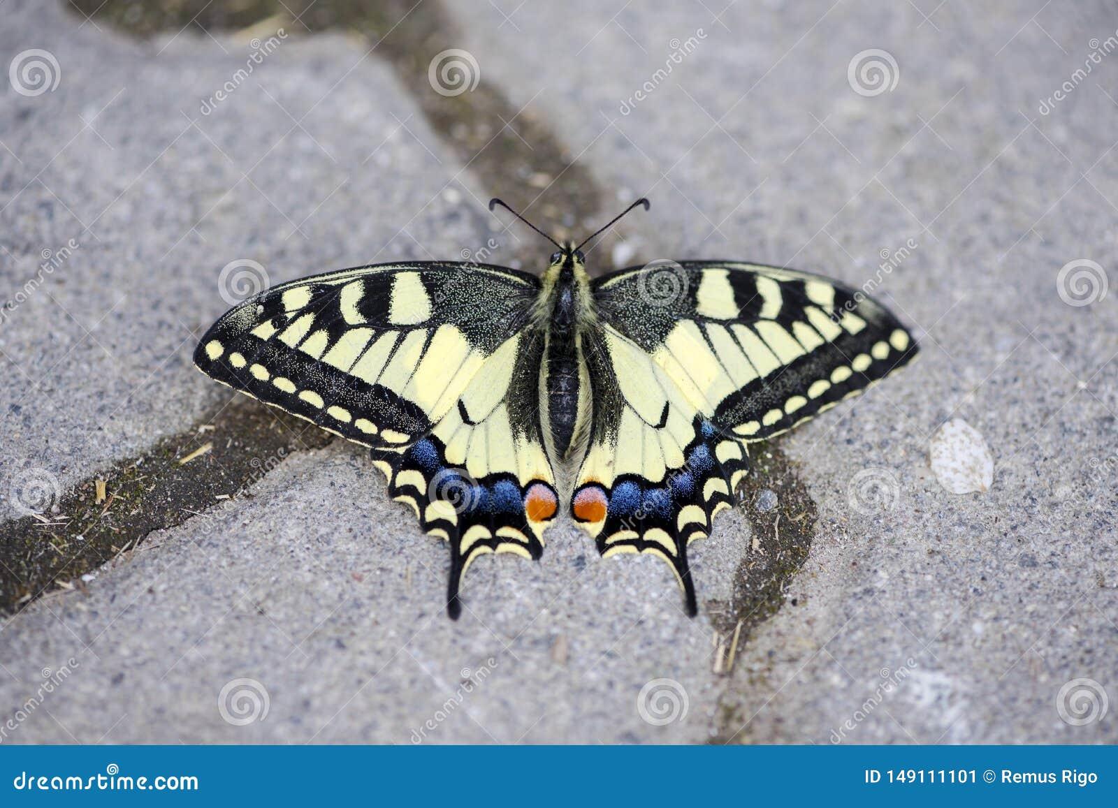 W g?r? rzadkiego swallowtail motyla