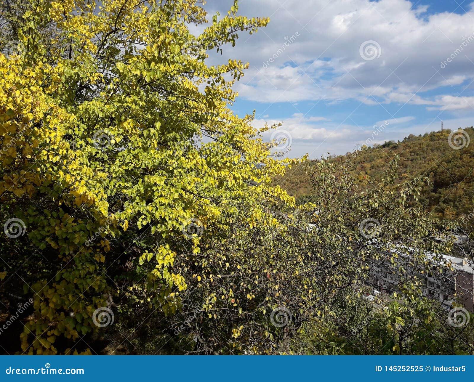 W jardzie przychodzącym spadek Morwa liście obracali kolor żółtego