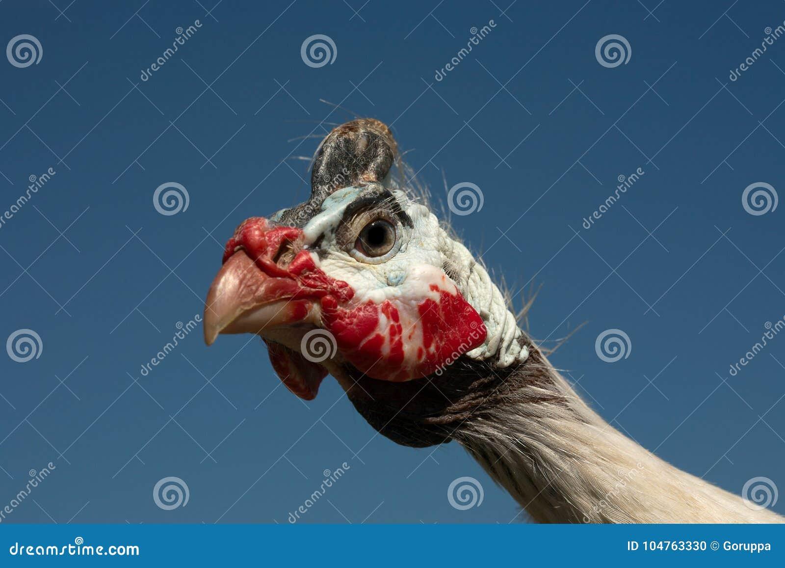 W kasku gwinei ptactwa Numida Meleagris portret