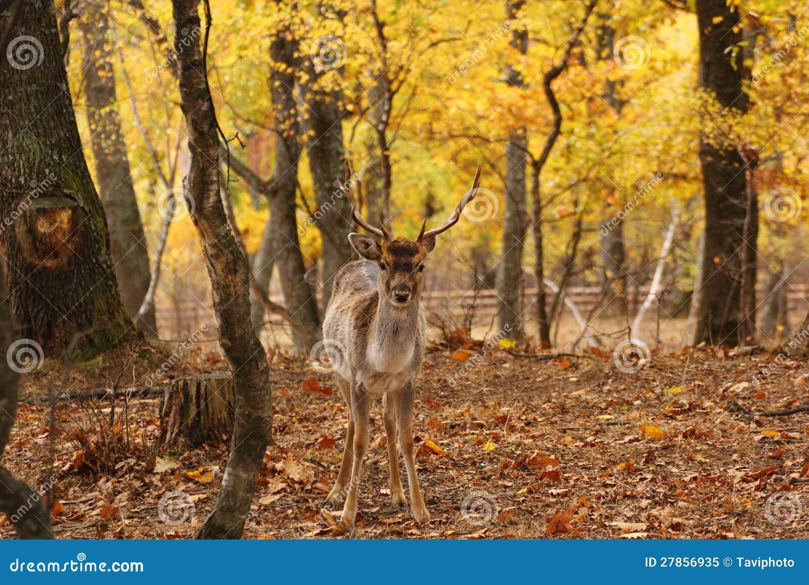 W lesie ugorów rogacze