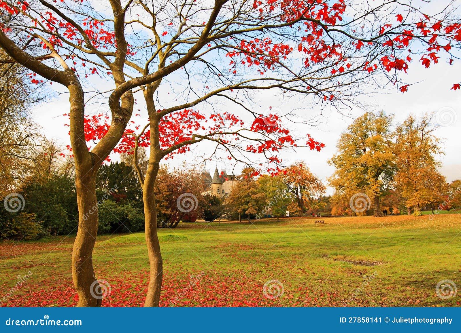 W parku czerwony Japoński klonowy drzewo.