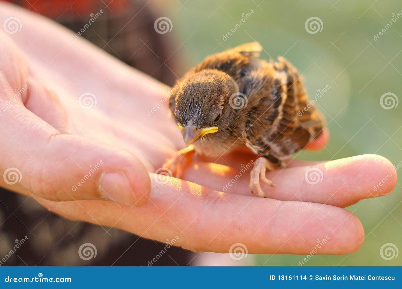 W Ręce dziecko Wróbel