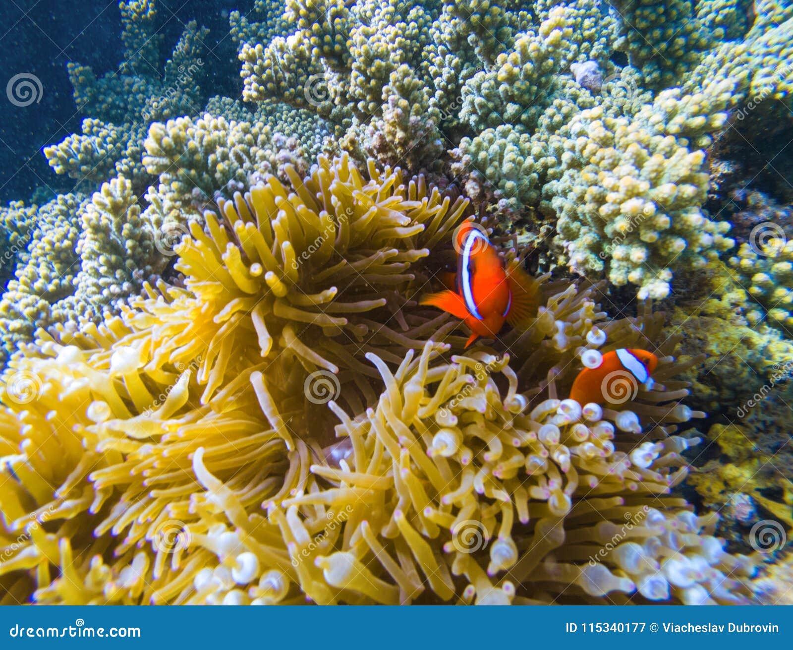 W rafa koralowa tropikalna ryba Pomarańczowi clownfish w żółtych aktynach