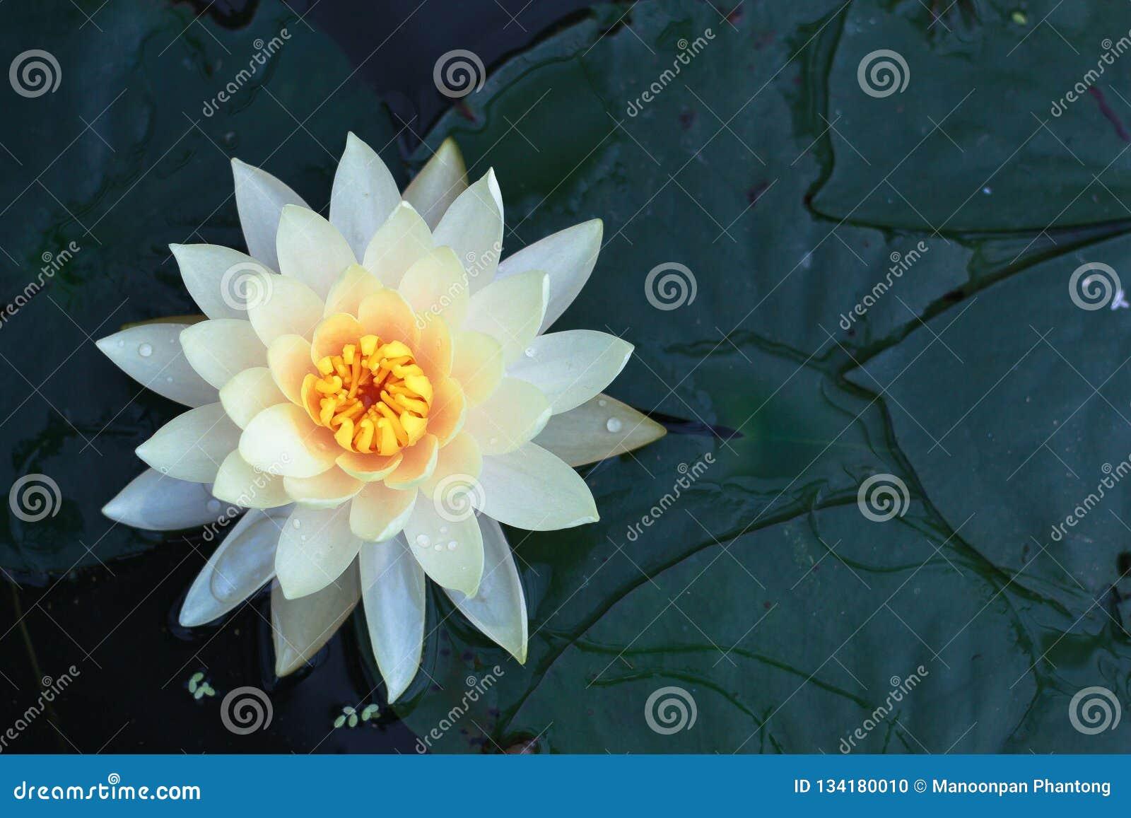 W stawie piękny lotosowy kwiat