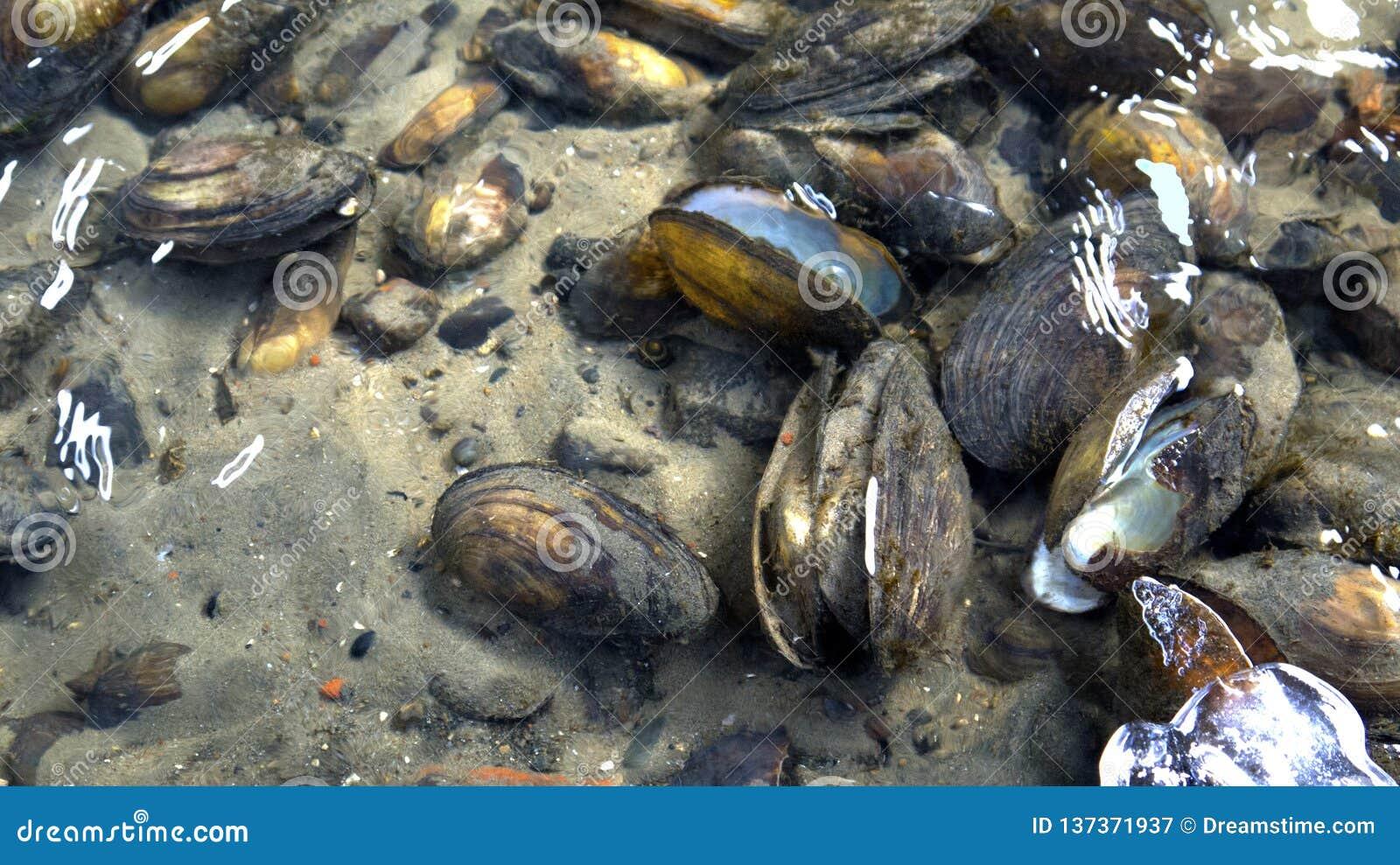 W unfrozen rzece blisko brzeg jeden może widzieć mussel skorupy kłamać na piaskowatym dnie