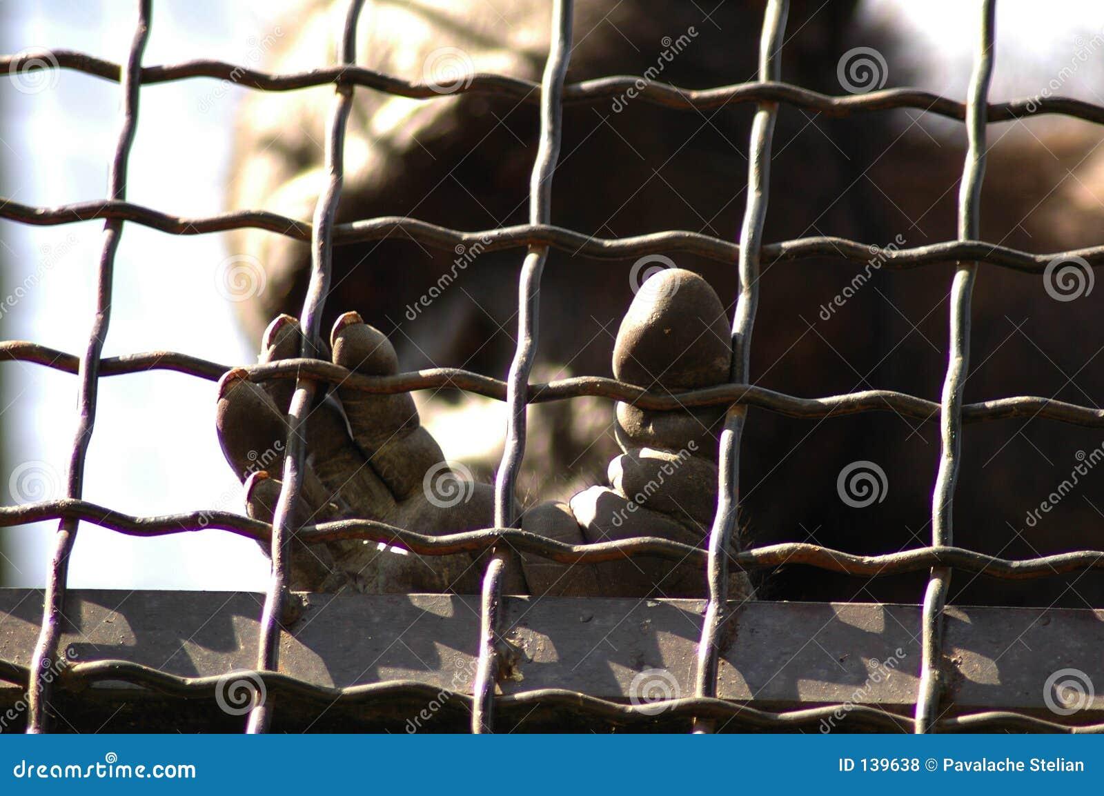 W wieku wieziono szympans