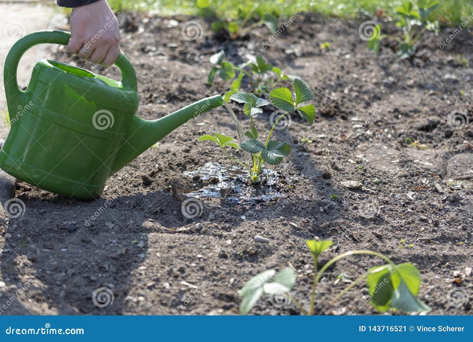 W wiosny ręce nawadnia truskawkowej rośliny z małym podlewaniem