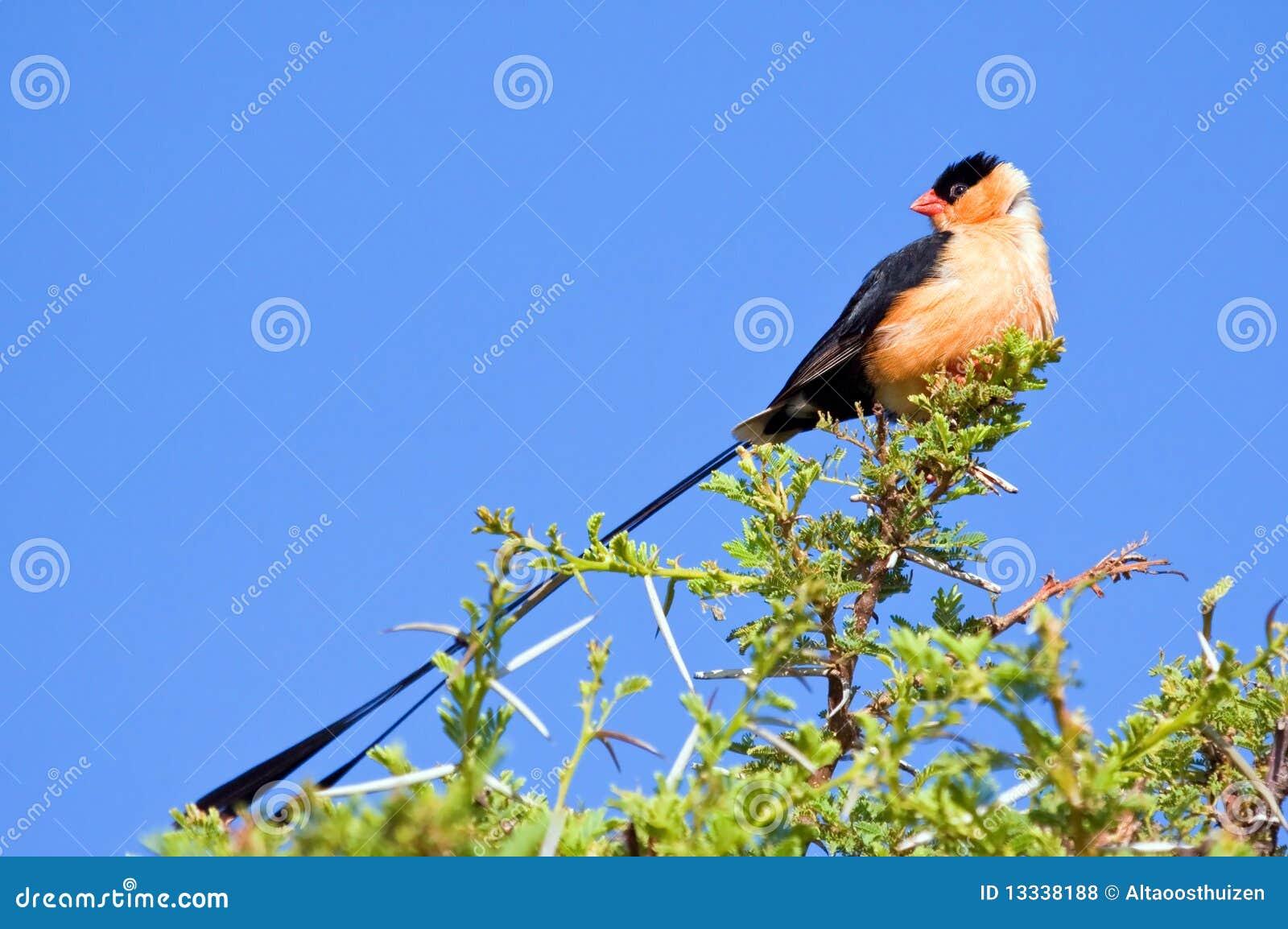 Wałkowy ogoniasty whydah