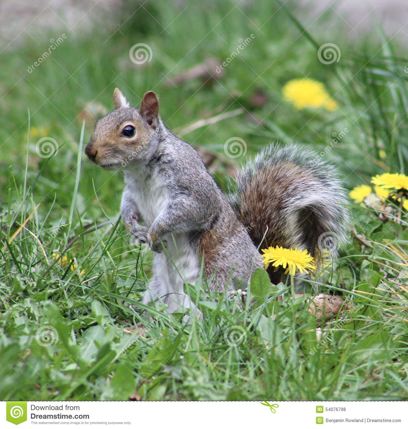 Waakzaam Grey Squirrel