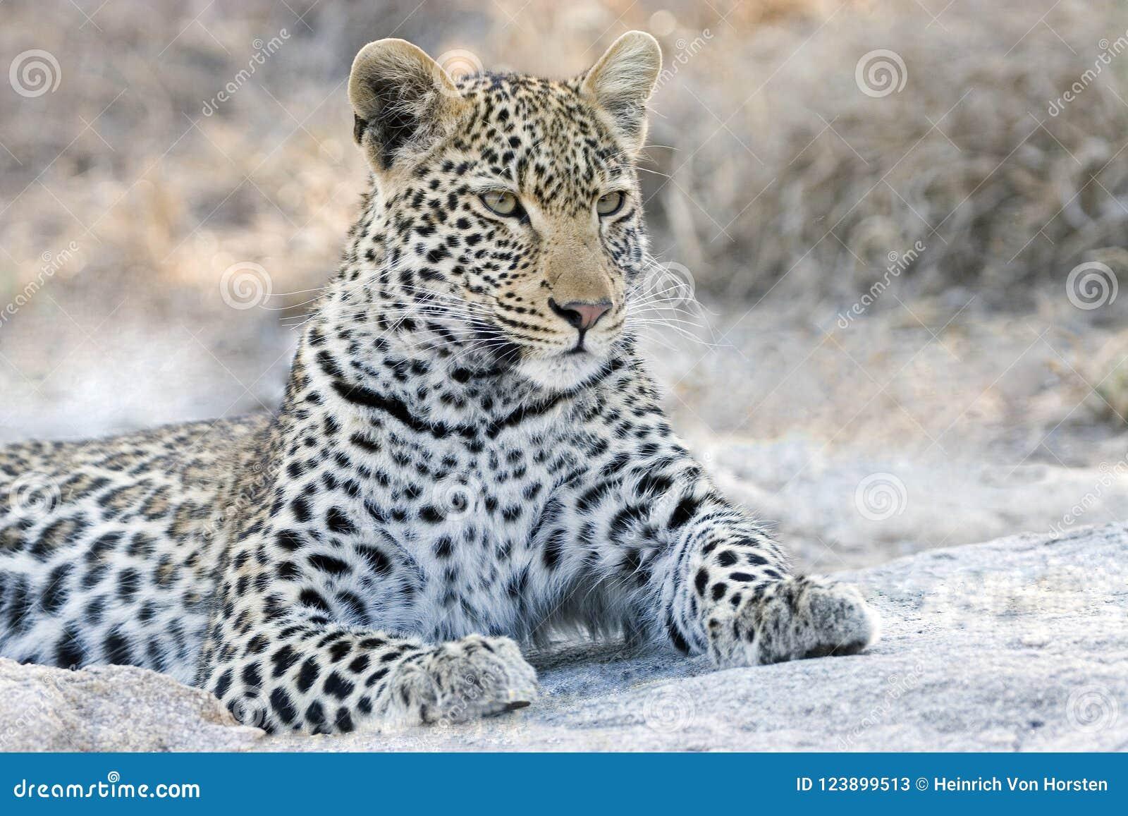 Waakzaamheid van een luipaard in het Nationale Park van Kruger