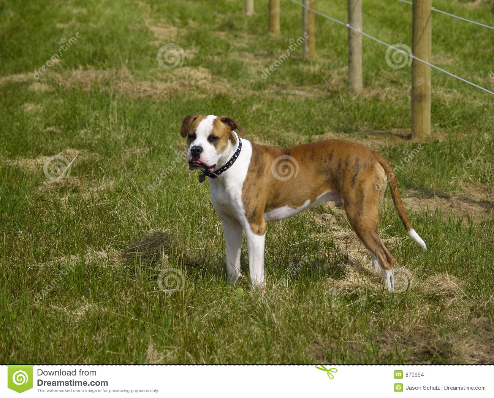 bulldogge amerikanische