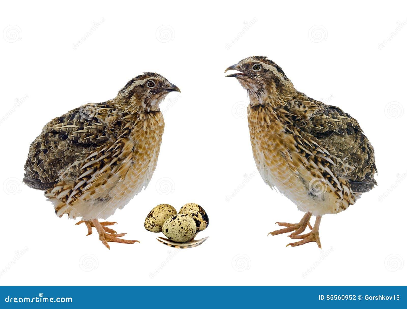 Wachteln mit den Eiern lokalisiert auf weißem Hintergrund