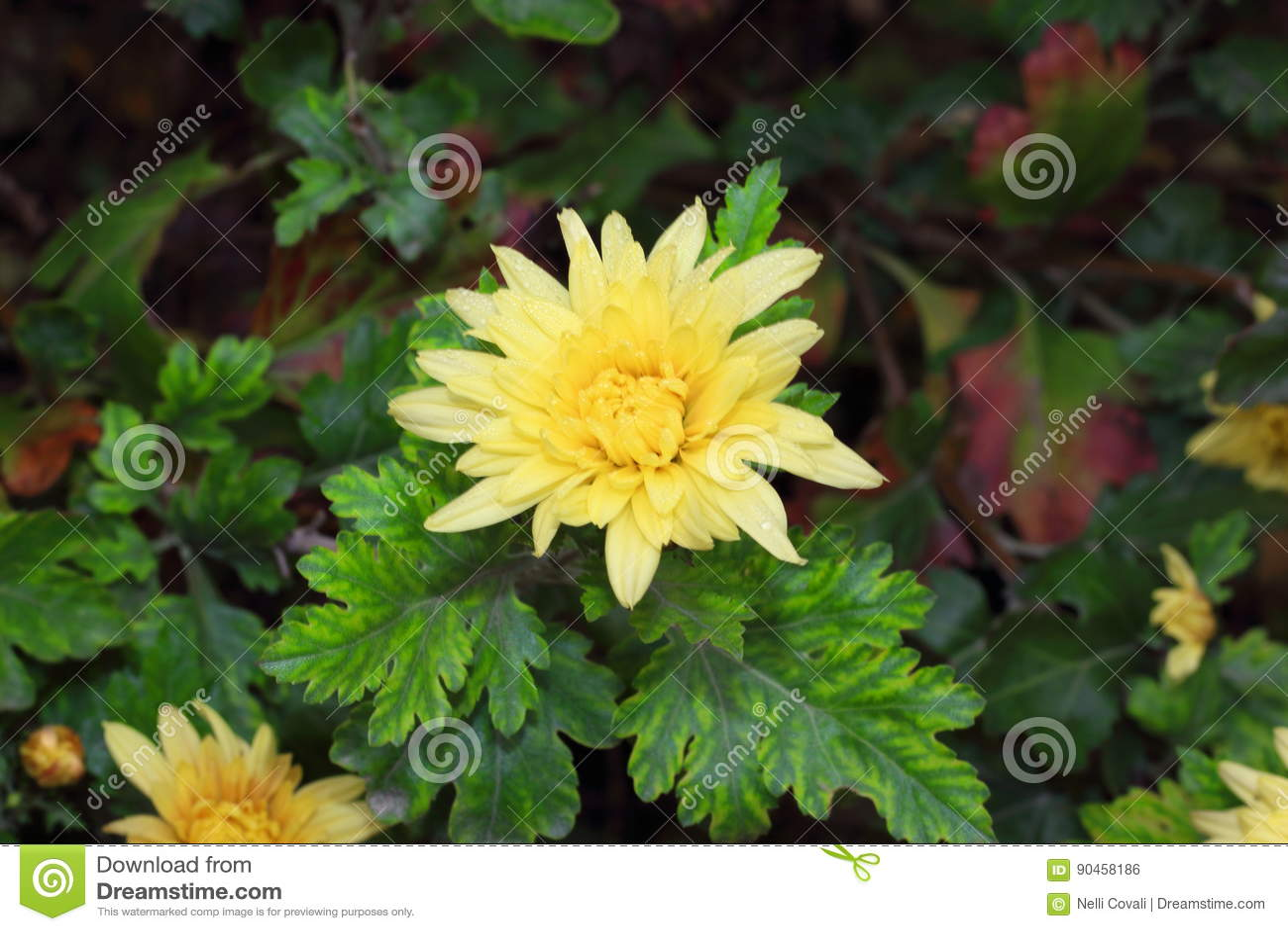 Wackelige Chrysantheme