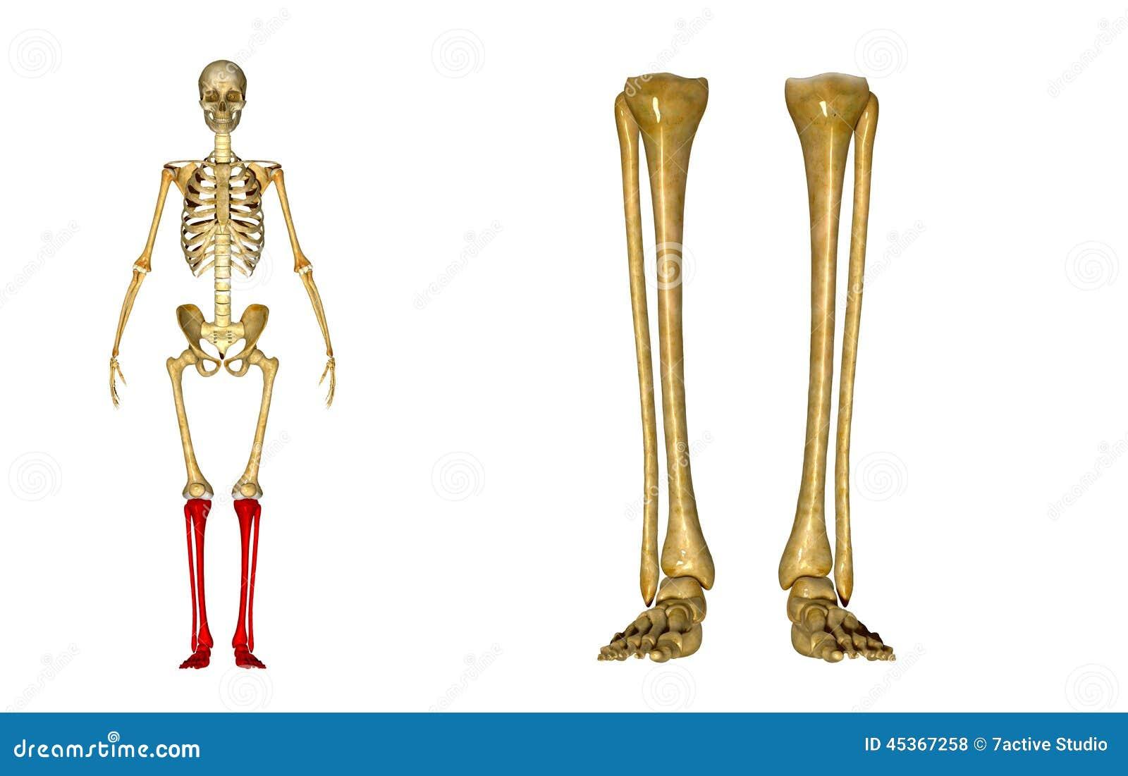 Wadenbein Und Schienbein, Knöchel Und Fuß Stockfoto - Bild von ...