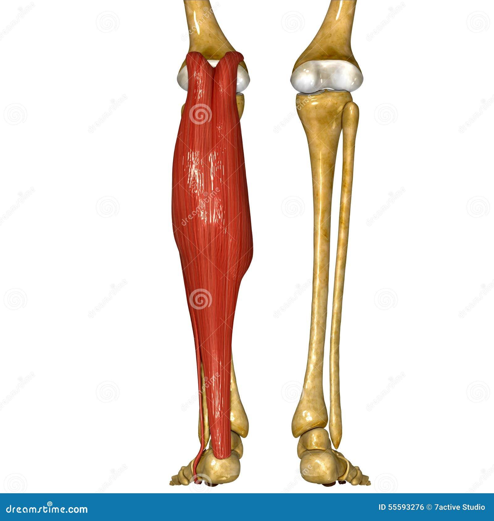Ungewöhnlich Muskelanatomie Strumpfhosen Galerie - Anatomie Von ...