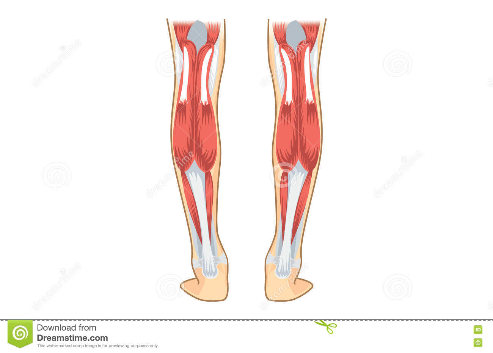 Wadenmuskel des Menschen vektor abbildung. Illustration von muskel ...