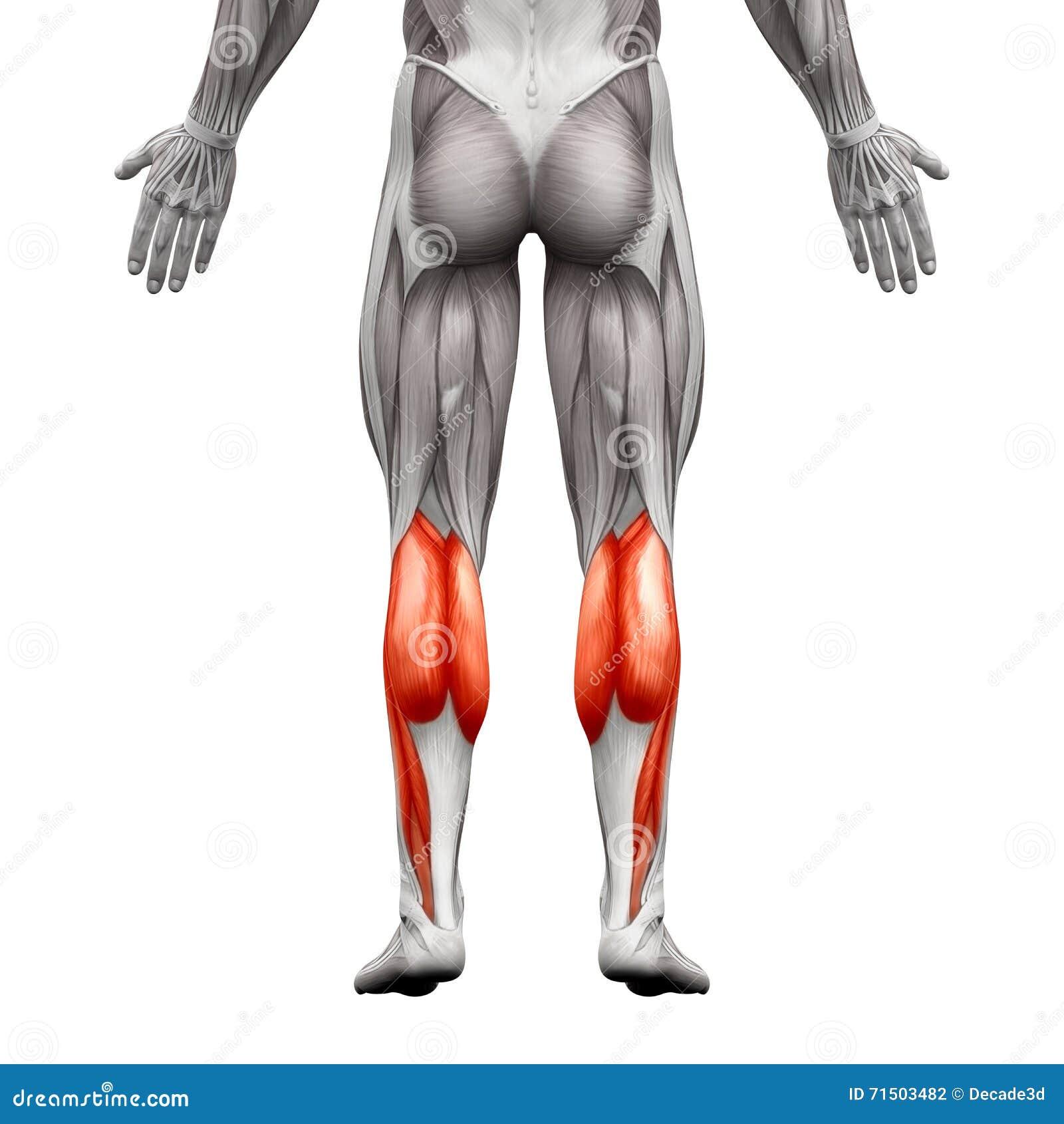 Ungewöhnlich Trizeps Muskel Ideen - Anatomie Und Physiologie Knochen ...