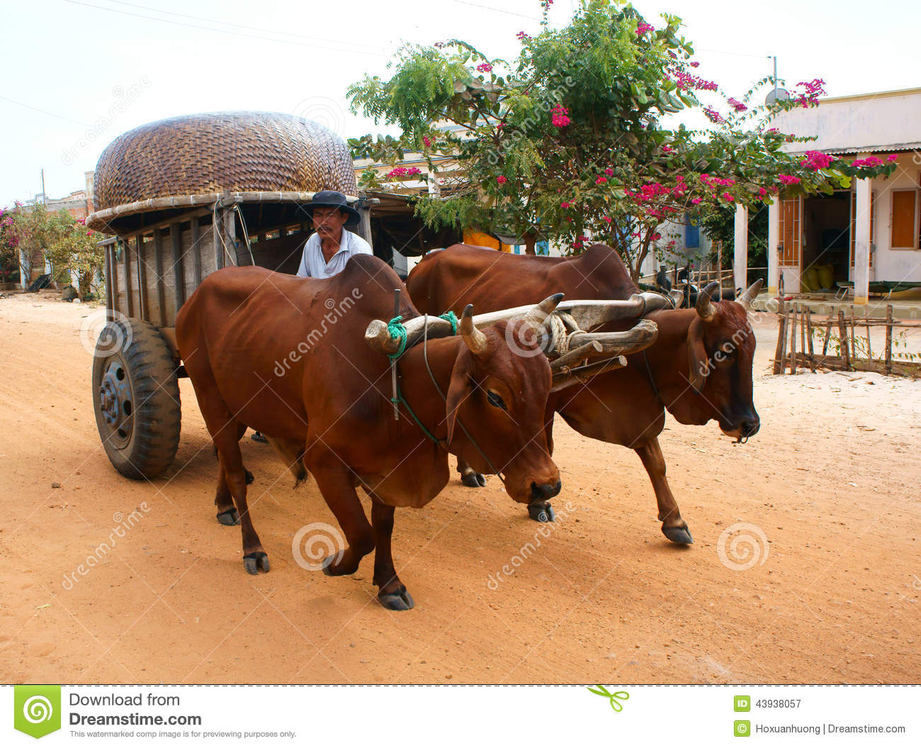 Cow Pulling Wagon : Wagon transport at vietnam countryside editorial