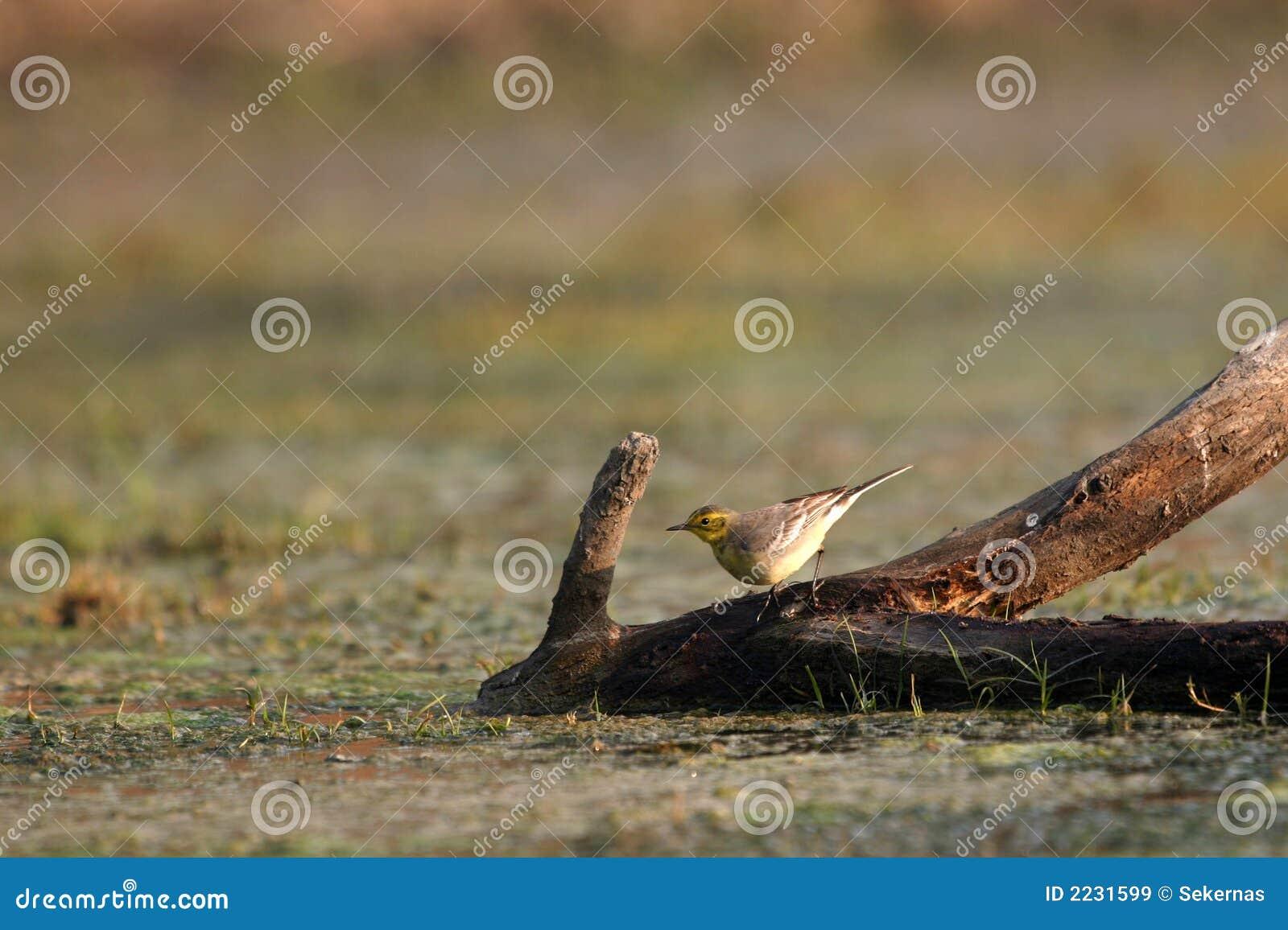 Wagtail κίτρινος