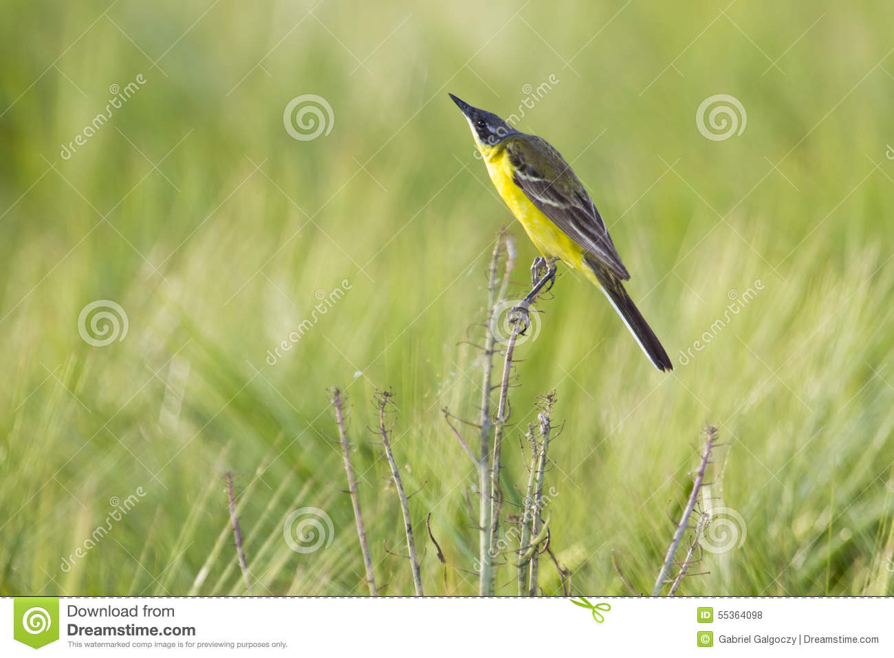 Wagtail giallo