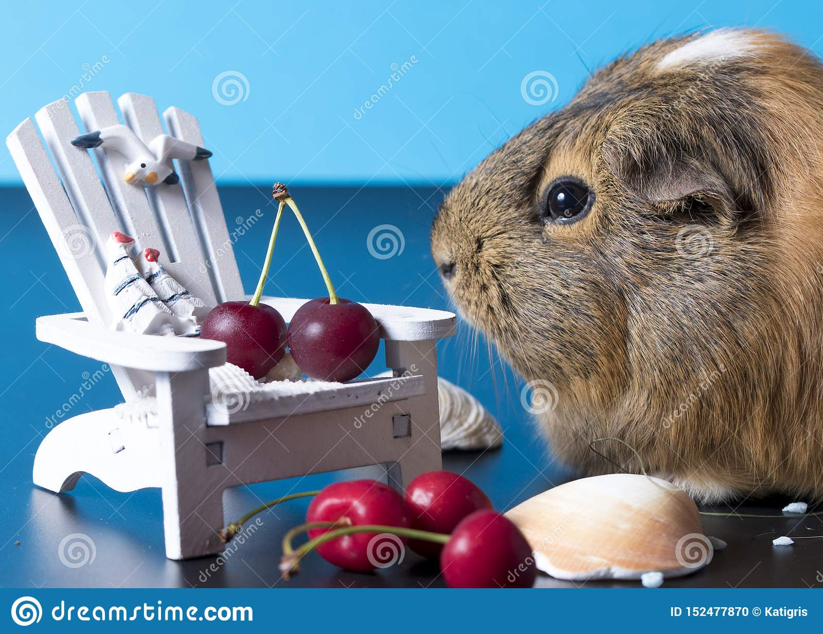 Waiting for holiday with a cute guinea pig