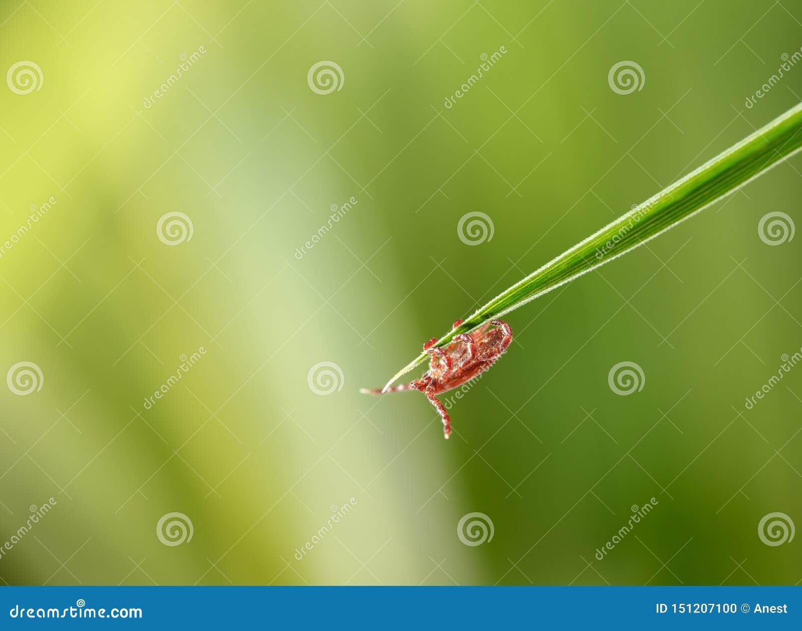 Waiting Tick on Grass