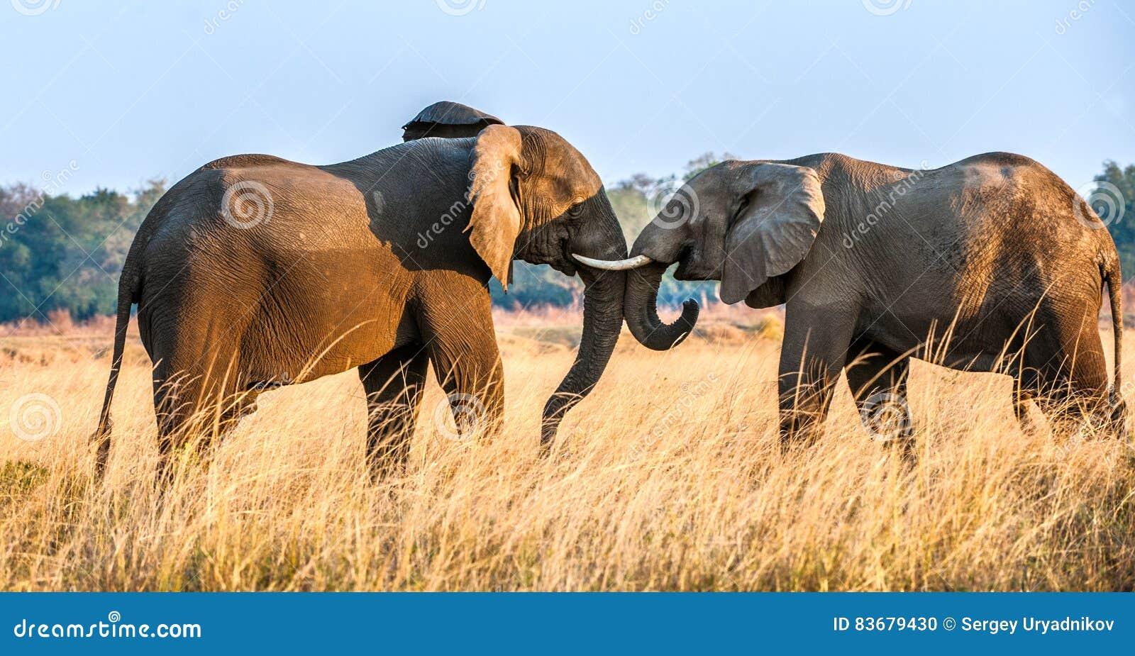 Walczący Afrykańscy słonie w sawannie przy zmierzchem