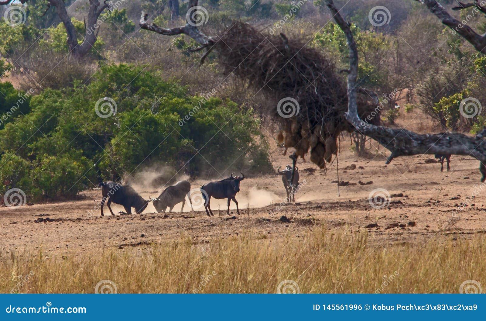 Walczący Wildebeest