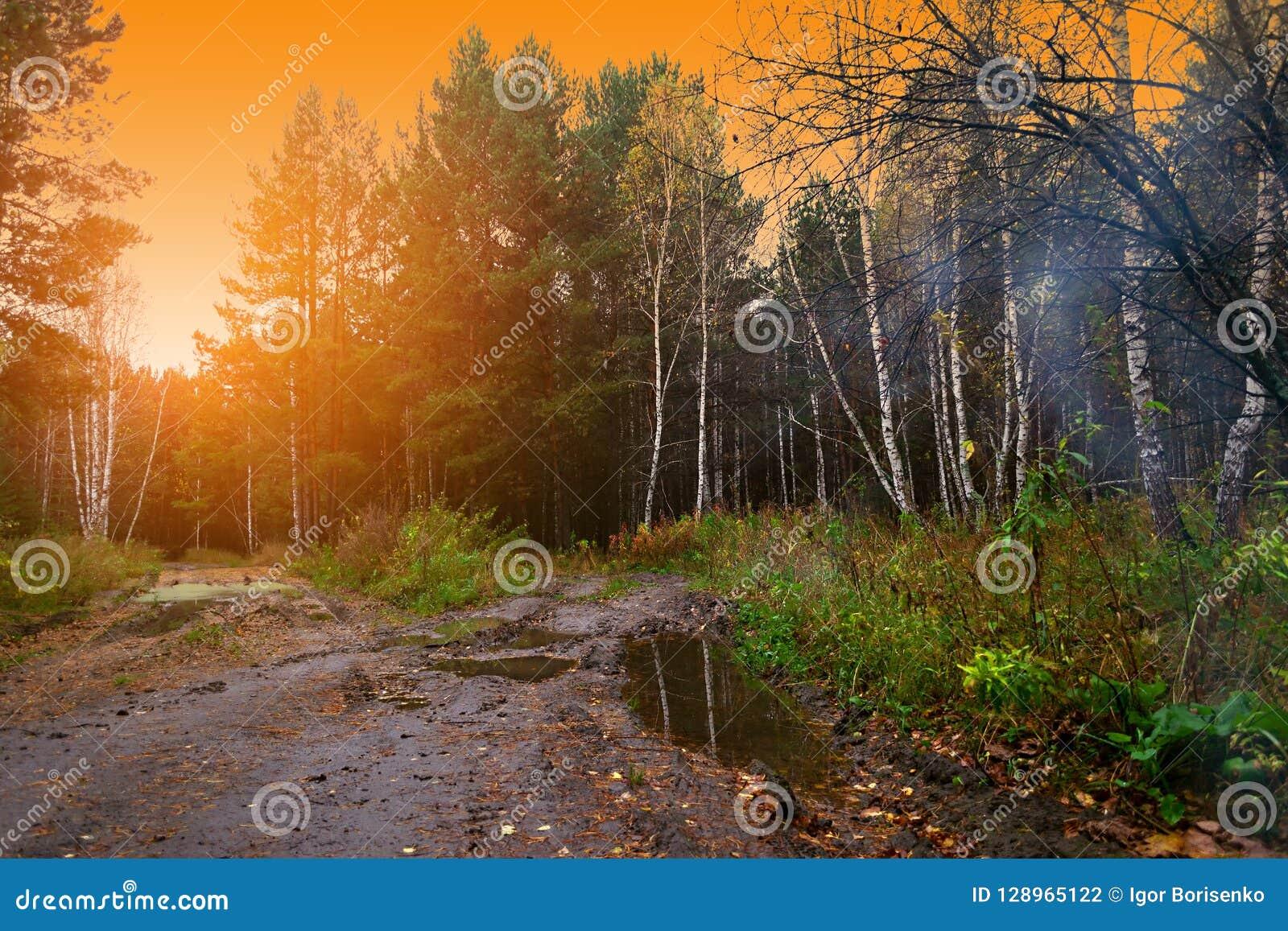Wald mit gelbem Laub von Suppengrün und von Fichten im Fall belichtet durch die orange Strahlen der abgehenden Sonne