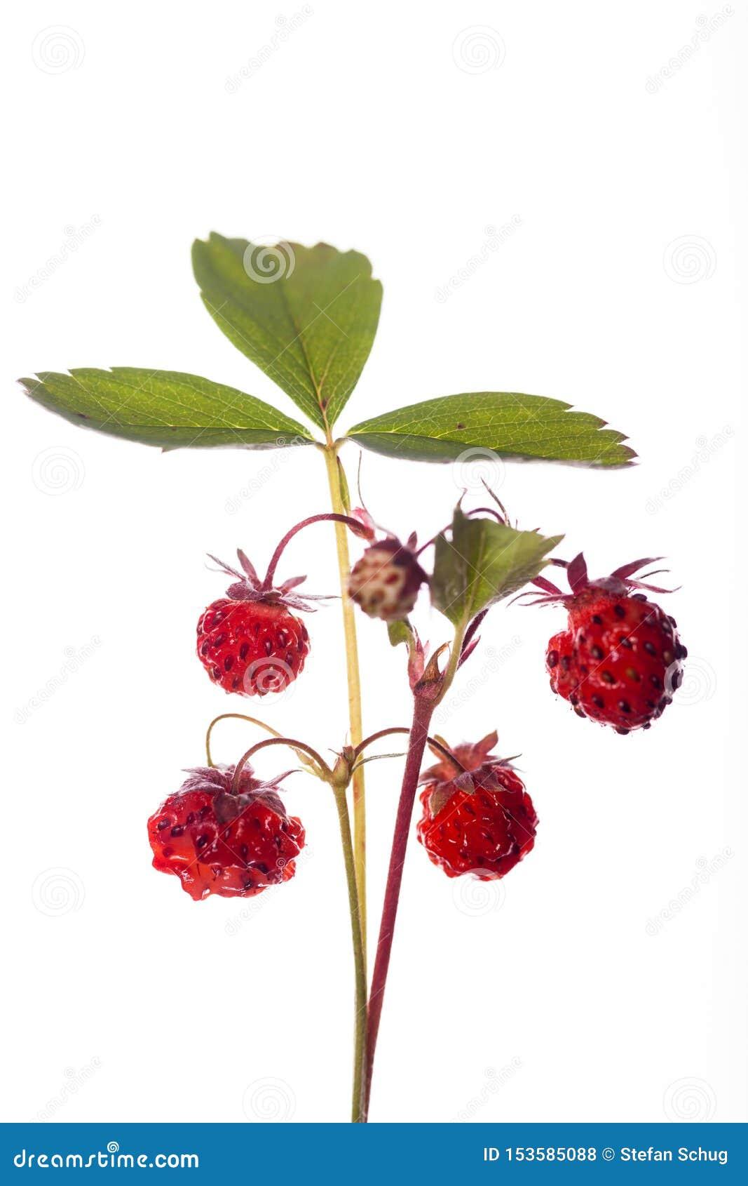 Walderdbeere-Anlage mit reifen Früchten