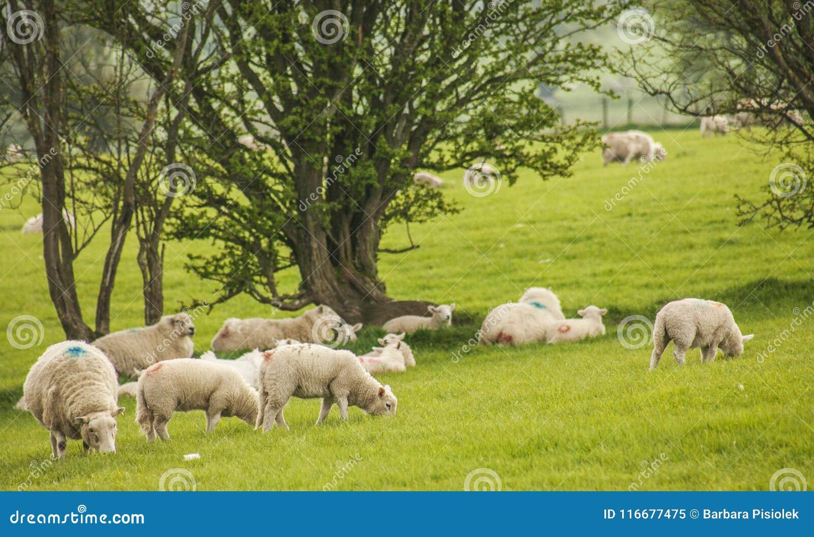 Walia UK - zielone łąki, drzewa i cakle,