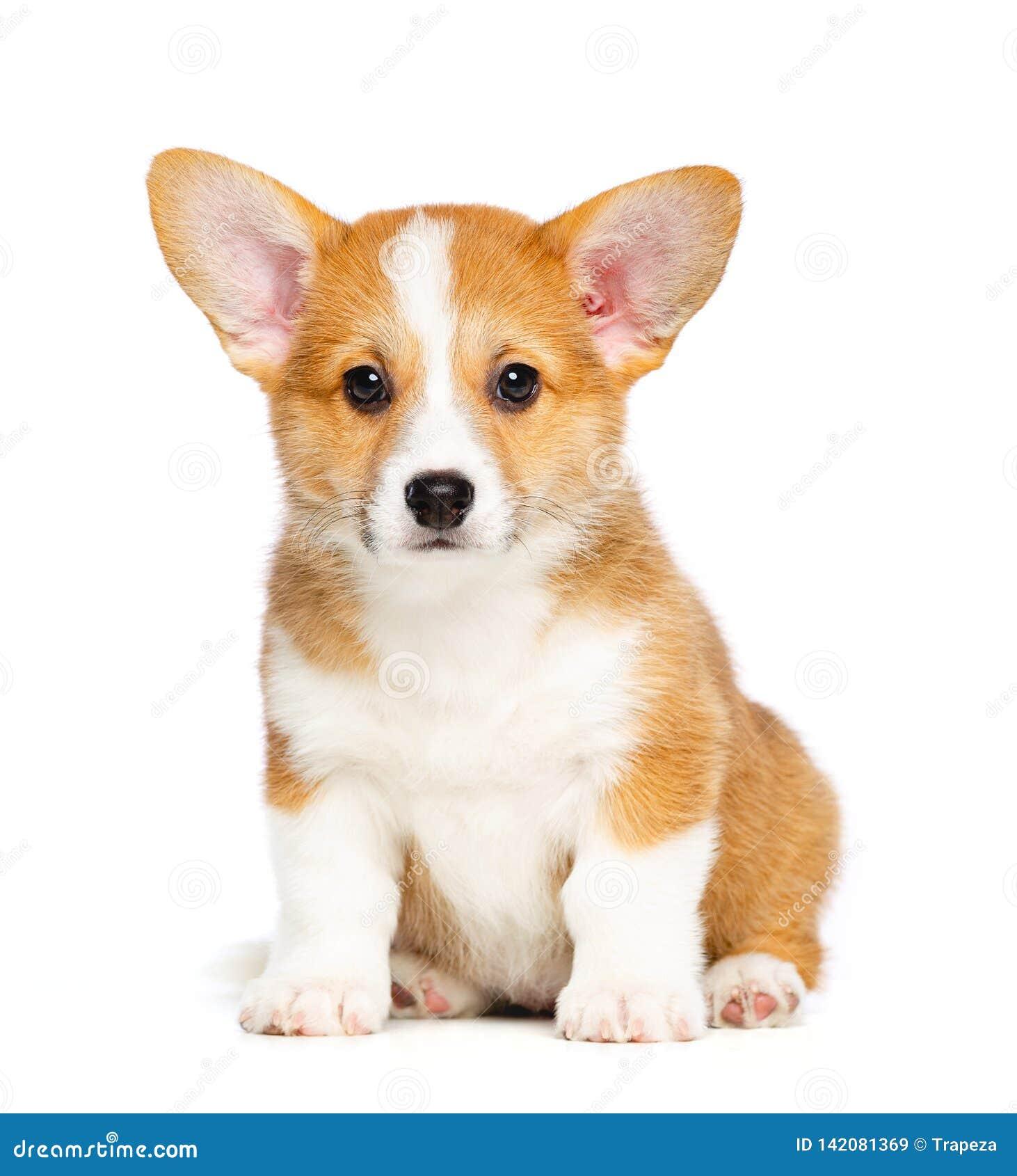 Waliser-Corgi Pembroke Puppy Dog Isolated auf schwarzem Hintergrund
