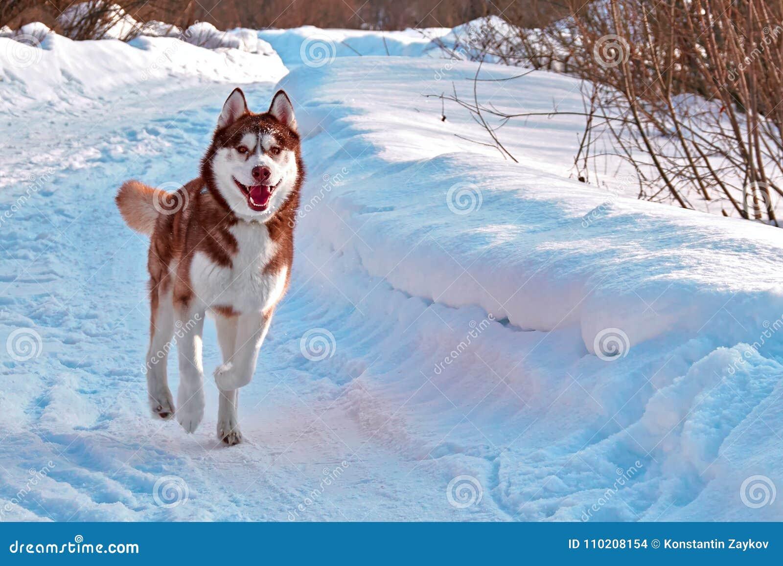 Walk With Dog Siberian Husky Playing On Winter Walk Husky Dog Run