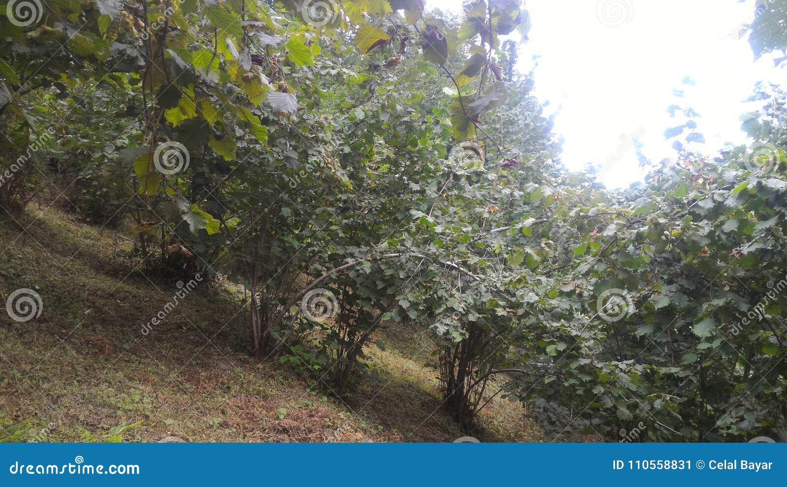Walk in hazelnut garden