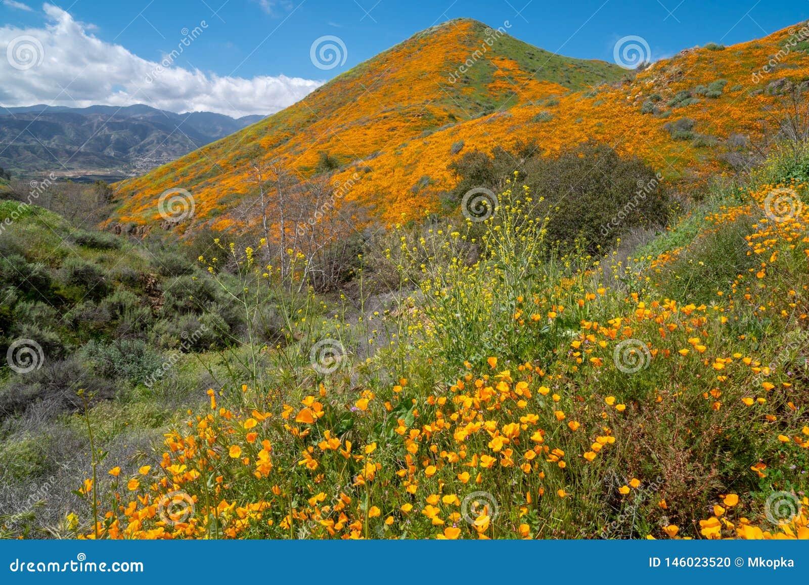 Walker Canyon no lago Elsinore Califórnia, coberta nos wildflowers