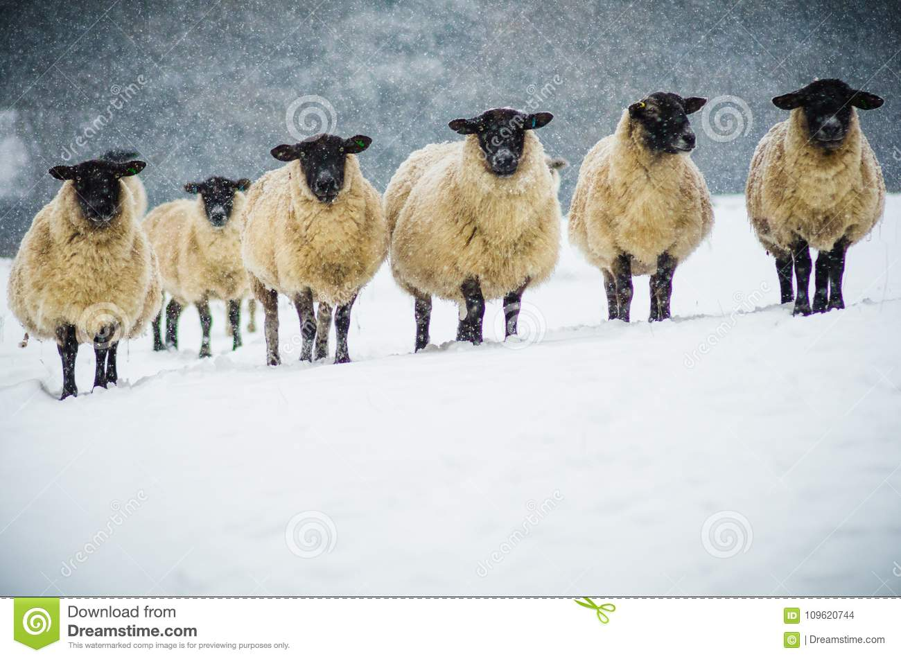 A herd of sheep in the snow