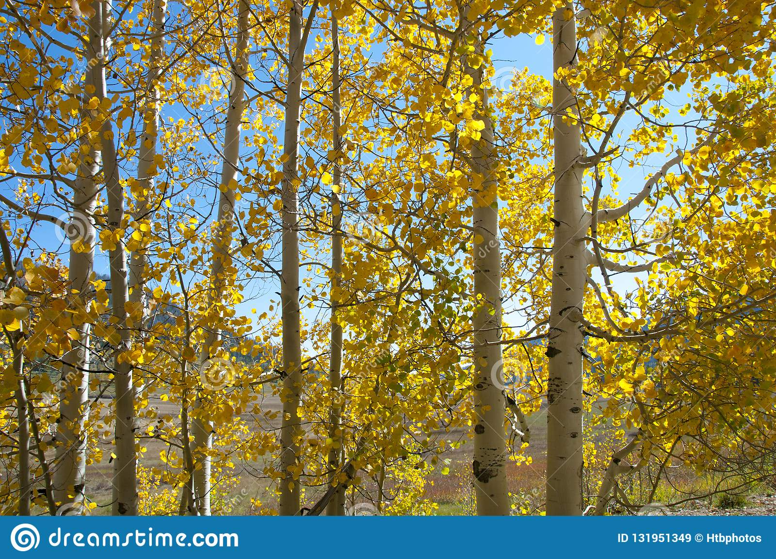 Fall Foliage on Yellow Aspen Trees showing off their Autumn Colors