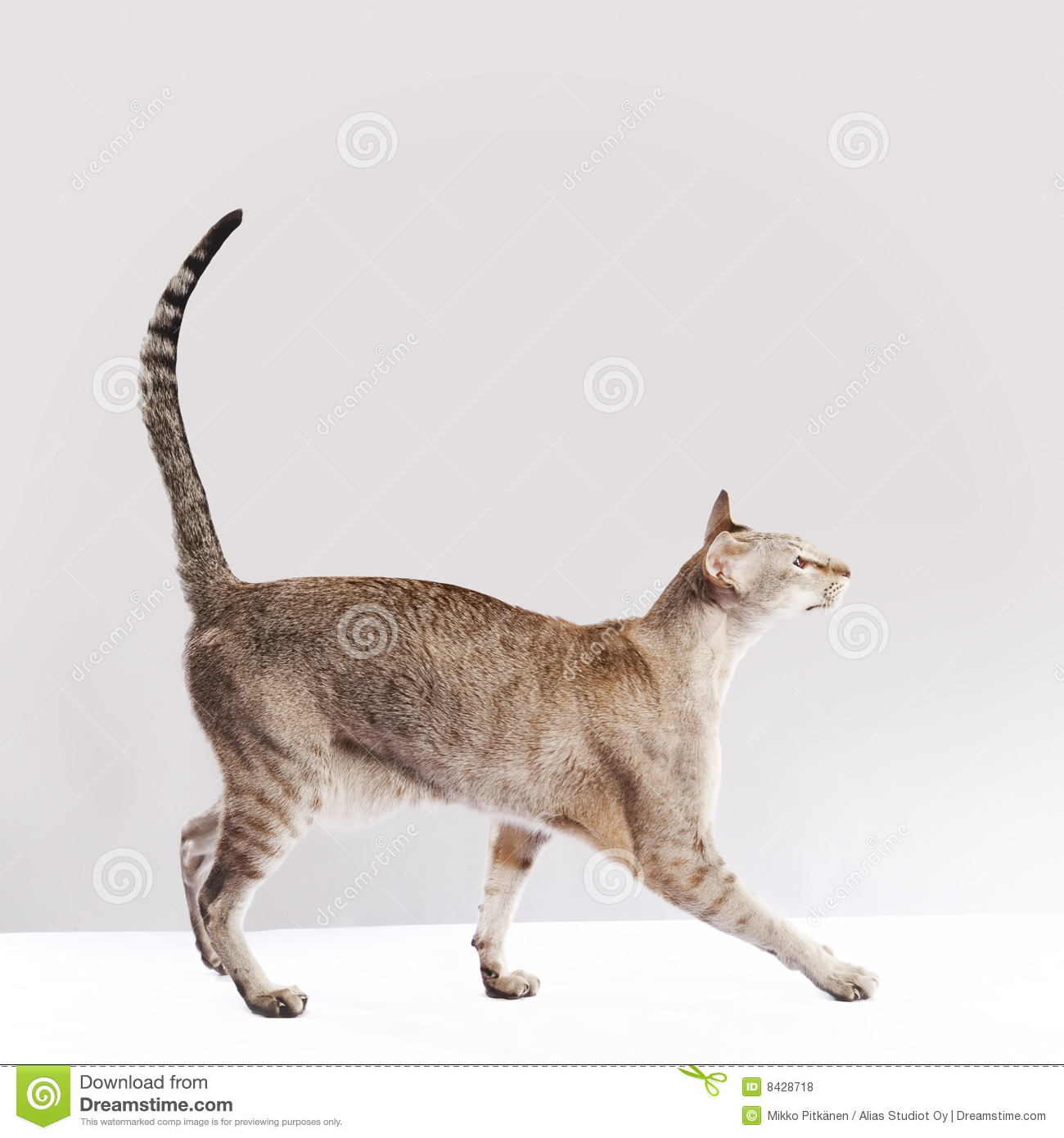 Walking Cat Royalty Free Stock Photos