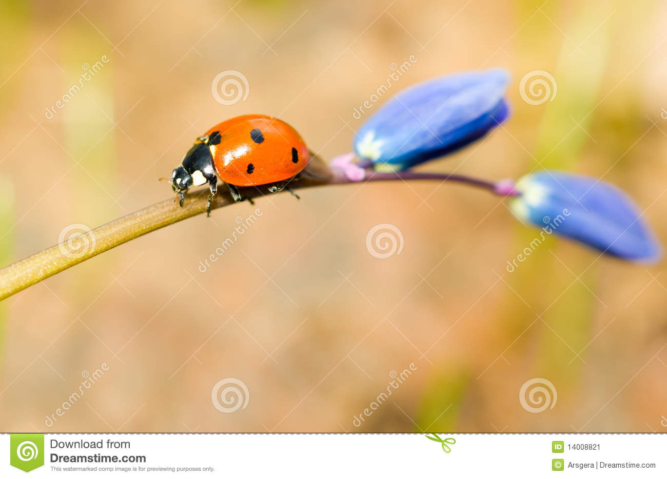 Download Walking By. Closeup Of Ladybird On Snowdrop Stock Image - Image of insect, flora: 14008821