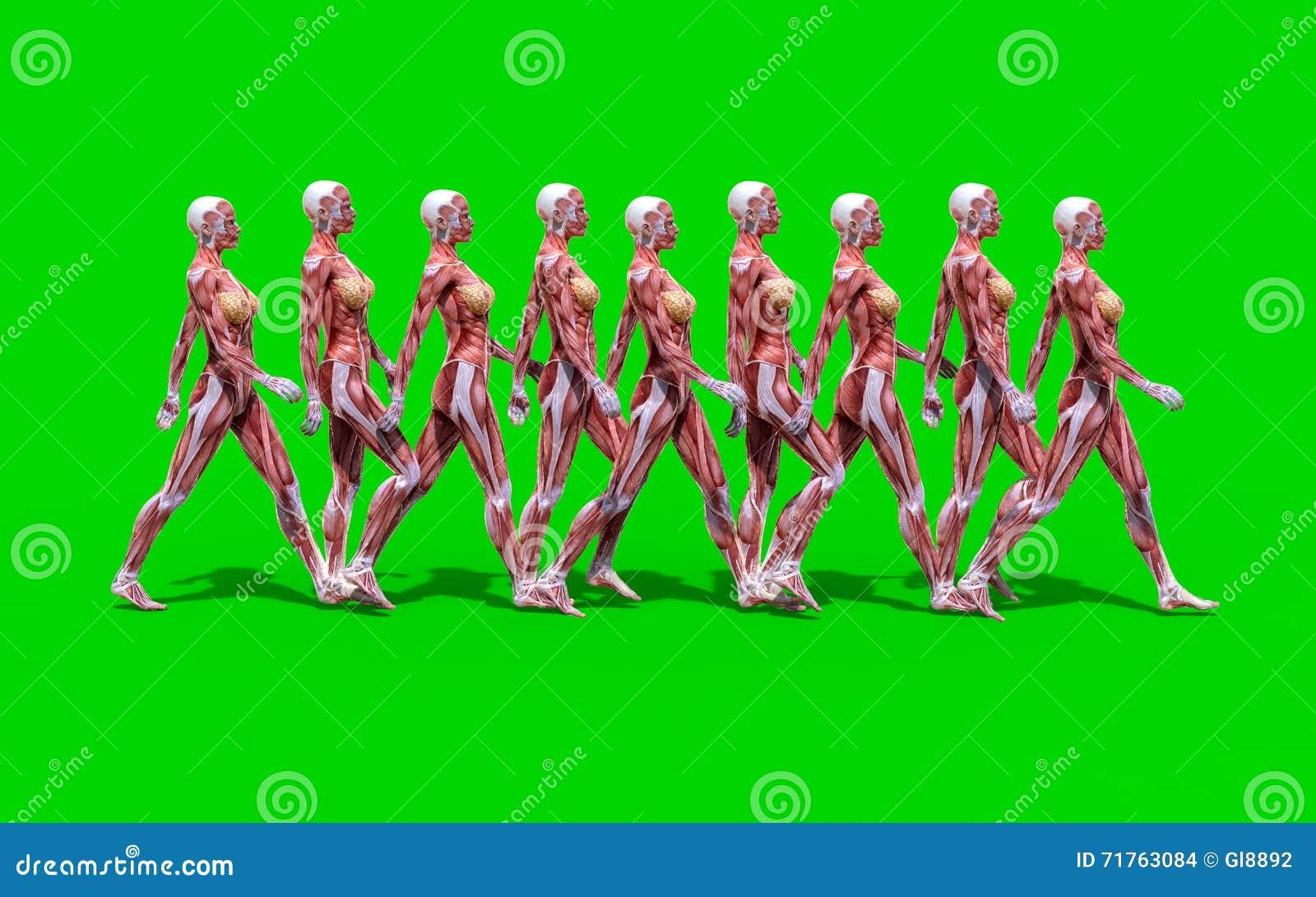 A Walking Female Anatomy Figure Stock Illustration - Illustration of ...