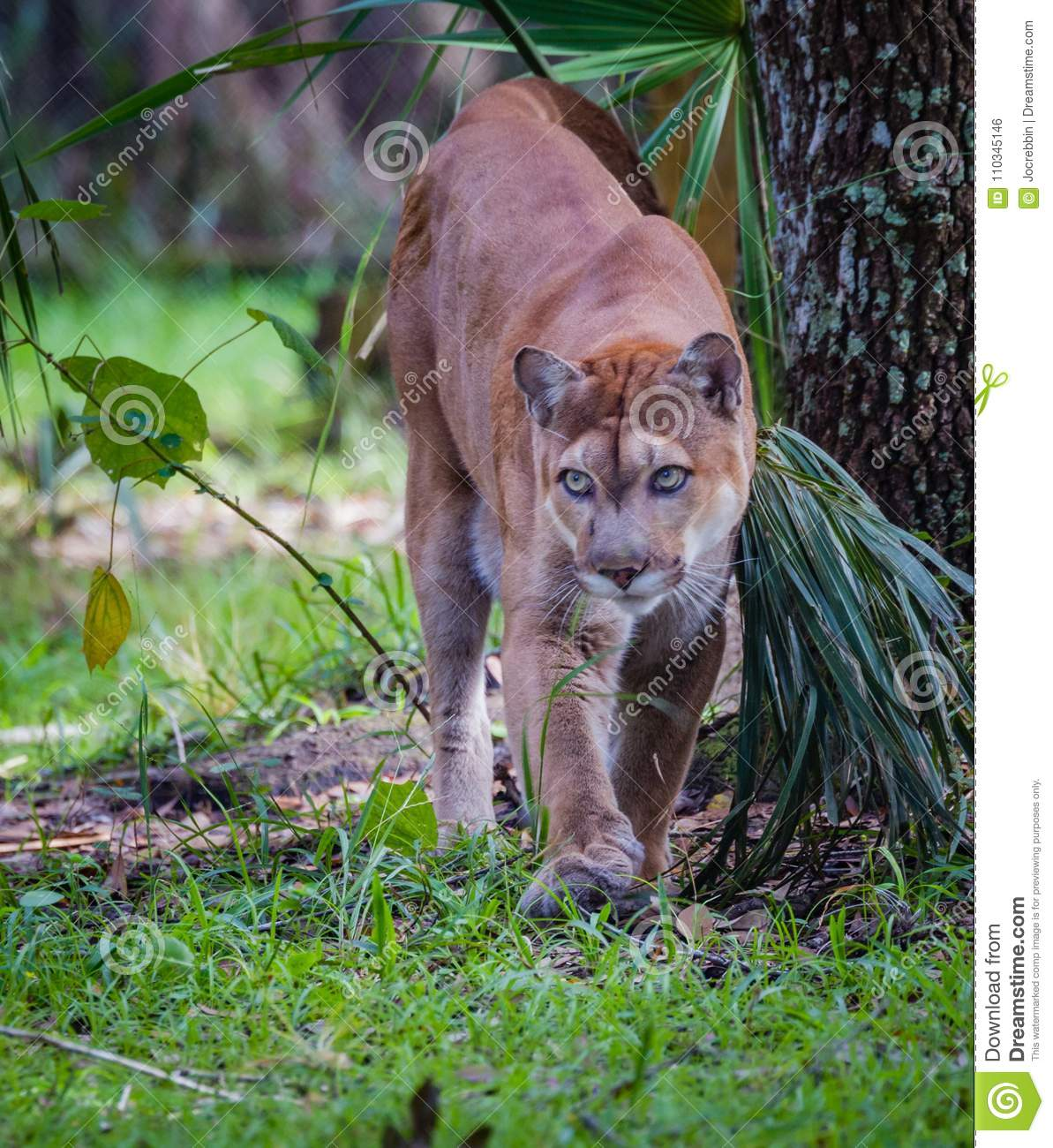 eded6107c05 Walking Florida Panther Looking Camera Left Stock Photo - Image of ...