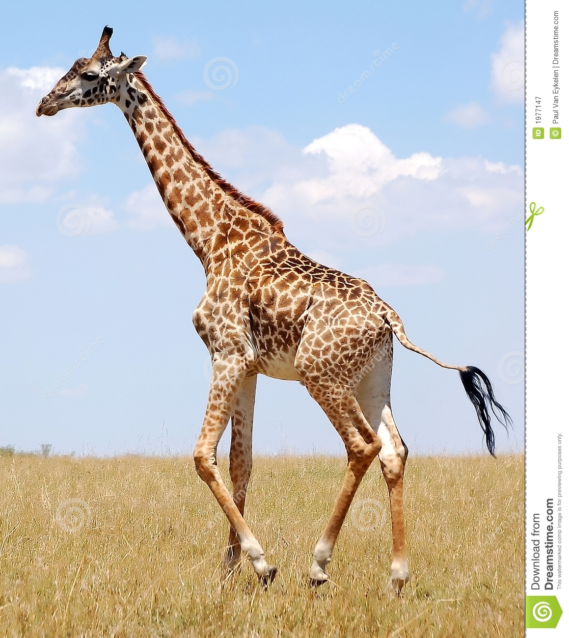 Walking Giraffe Royalty Free Stock Photography - Image: 1977147