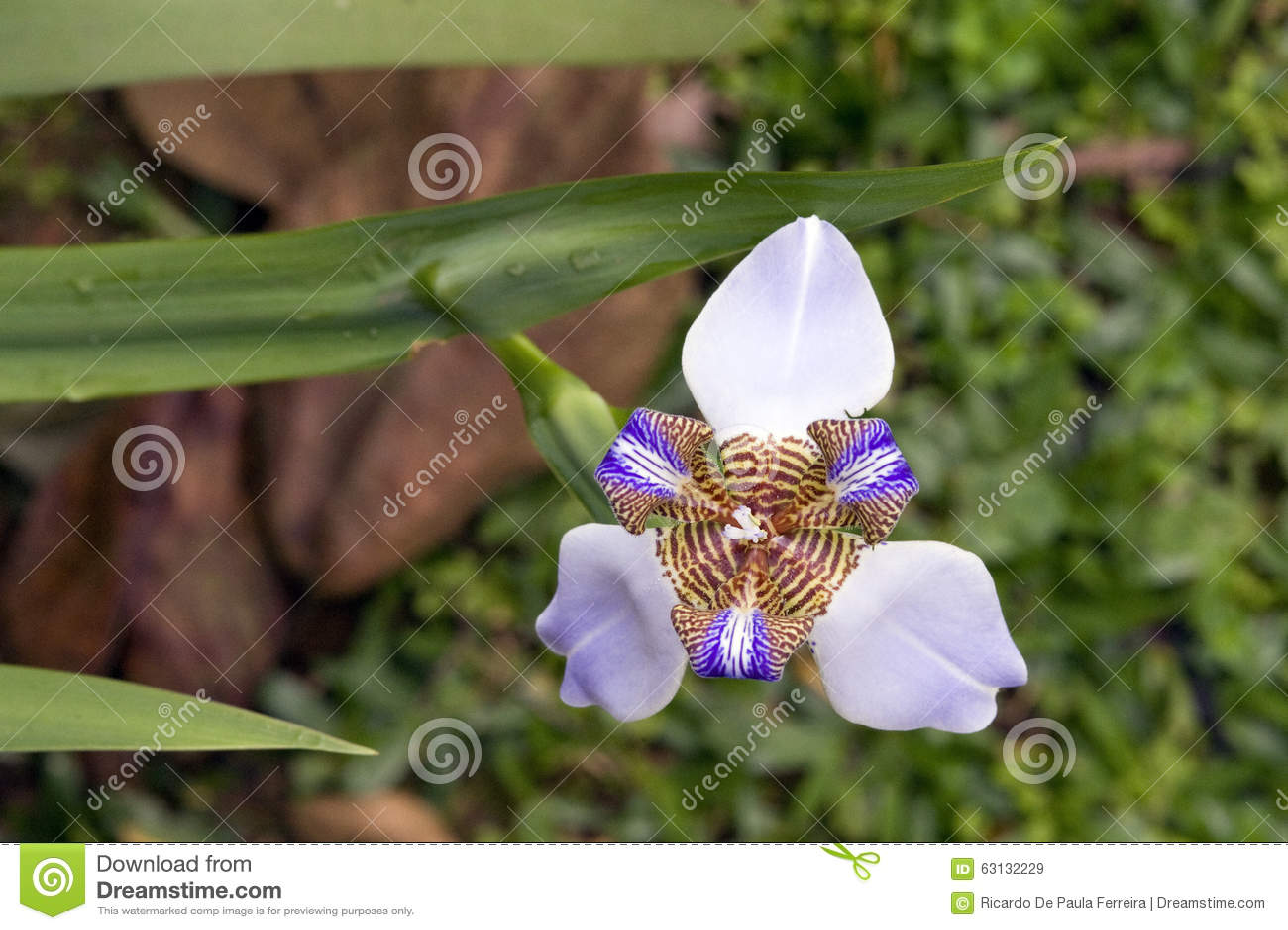 Walking iris or apostles iris brazilian flower widely used in walking iris or apostle s iris brazilian flower widely used in izmirmasajfo