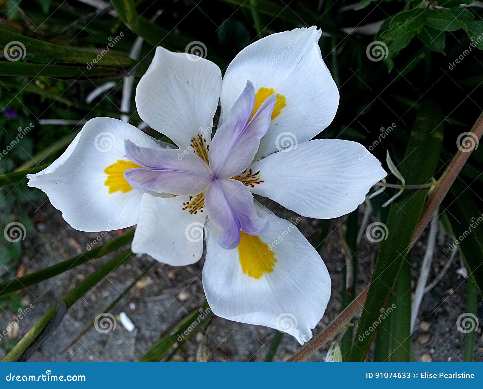 Walking iris in purple and white stock image image of flower walking iris in purple and white izmirmasajfo