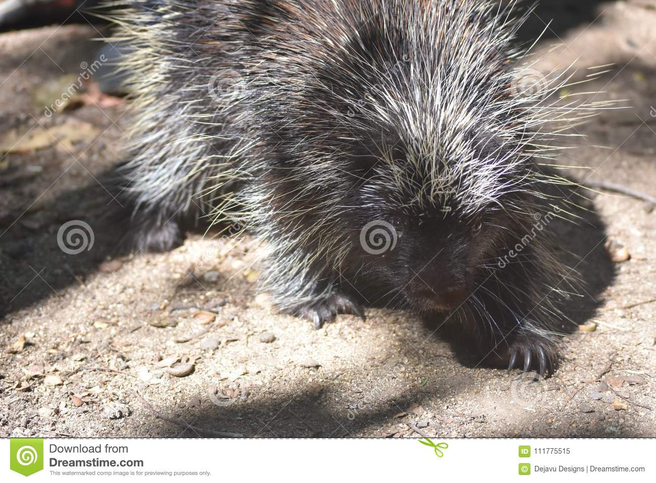 Black and white porcupine with large sharp claws