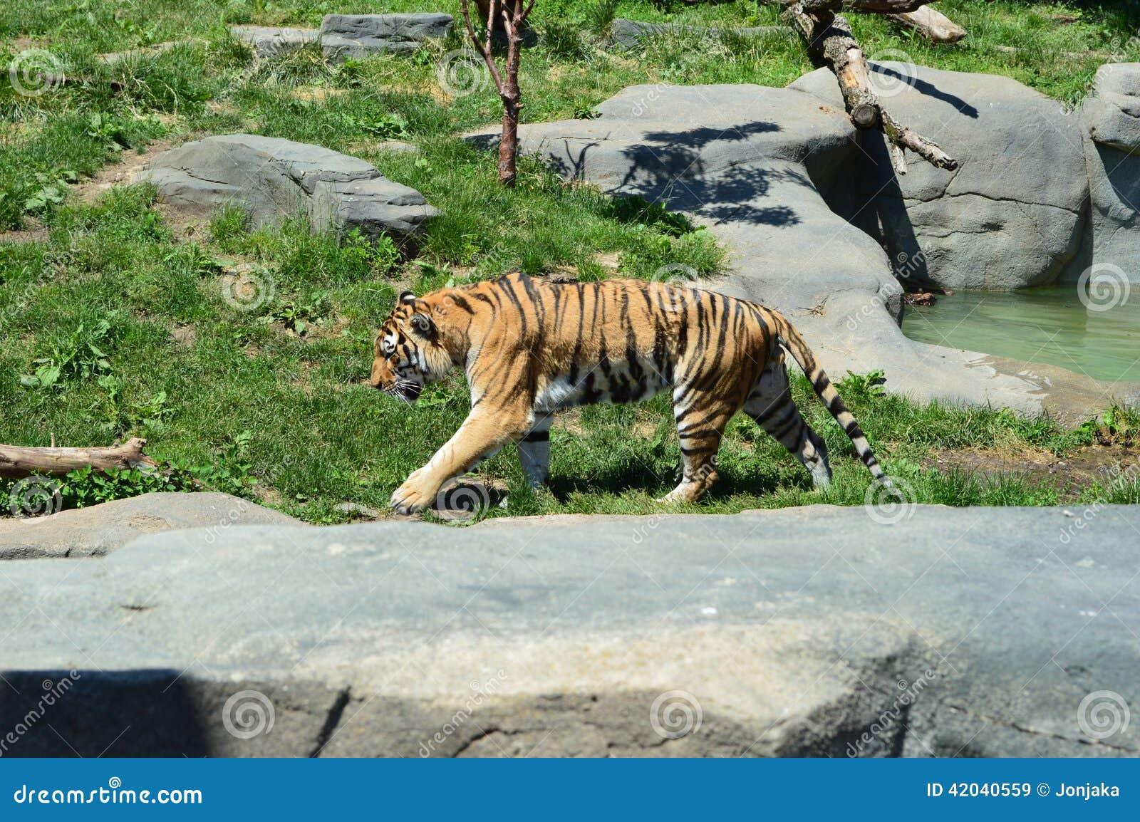 walking tiger stock photo image 42040559